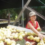 Susan Inspecting Ripe Noni Fruits