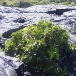 Young Noni Tree Growing Out of Lava Field