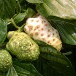 Noni Fruits On The Tree